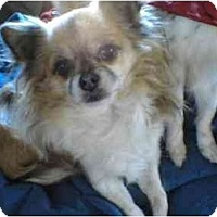 Adopt A Pet :: Gizmo - Lake Forest, CA
