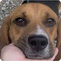 Adopt A Pet :: Todd - Indianapolis, IN