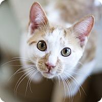 Adopt A Pet :: Smooch - Chicago, IL