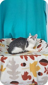 Domestic Shorthair Cat for adoption in Mt. Vernon, Illinois - Puss