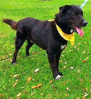 Flat-Coated Retriever/Labrador Retriever Mix Dog for adoption in Simsbury, Connecticut - Niko