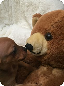 Miniature Pinscher Mix Puppy for adoption in Valencia, California - Venti