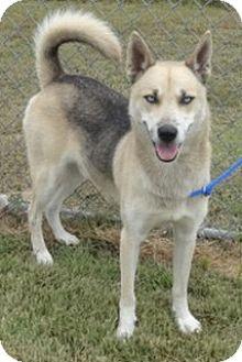 Husky/Shepherd (Unknown Type) Mix Dog for adoption in Olive Branch, Mississippi - Zedd