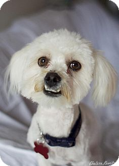 Lhasa Apso Mix Dog for adoption in Canyon Country, California - Ethan