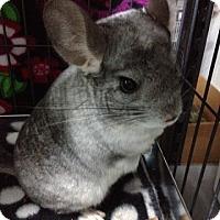 Adopt A Pet :: Bella - Titusville, FL