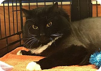 Domestic Longhair Cat for adoption in Powder Springs, Georgia - MAVERICK