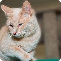 Adopt A Pet :: Simba - Fountain Hills, AZ