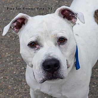 American Bulldog/Boxer Mix Dog for adoption in Spring Lake, New Jersey - Dalton