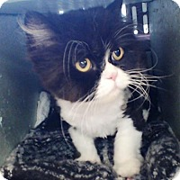 Adopt A Pet :: Sugar - Courtesy Post - Rootstown, OH