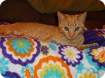 Domestic Shorthair Cat for adoption in Xenia, Ohio - Tiger Lily