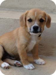 Jack Russell Terrier/Chihuahua Mix Puppy for adoption in Russellville, Kentucky - Colby