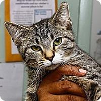 Adopt A Pet :: Verde - Lombard, IL