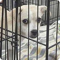Labrador Retriever/Chihuahua Mix Puppy for adoption in Taylorsville, Utah - Love