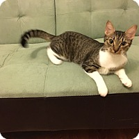 American Shorthair Cat for adoption in Avon Park, Florida - Girly