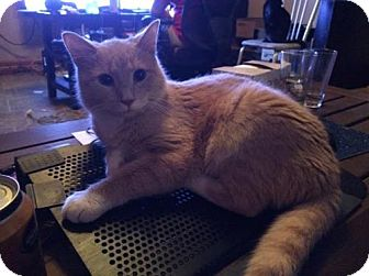 Domestic Shorthair Cat for adoption in Harrisburg, Pennsylvania - Dash (adult male)