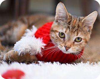Domestic Shorthair Cat for adoption in Xenia, Ohio - Kira