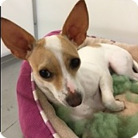 Chihuahua Mix Dog for adoption in Fort Worth, Texas - BONITA