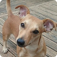 Adopt A Pet :: Roxie ADORABLE - Tunica, MS
