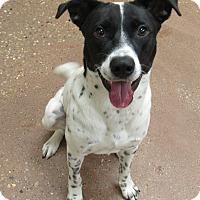 Adopt A Pet :: Domino *Petsmart GB* - Appleton, WI