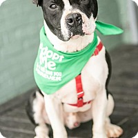 Adopt A Pet :: Bullet - in a foster home - Roanoke, VA