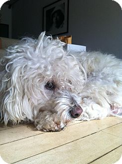 Bichon Frise/Poodle (Miniature) Mix Dog for adoption in Los Angeles, California - *** Courtesy Post*** (Buddy)