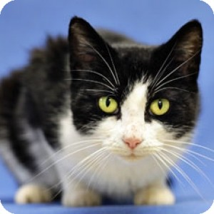 Domestic Shorthair Cat for adoption in Athens, Georgia - Lacy