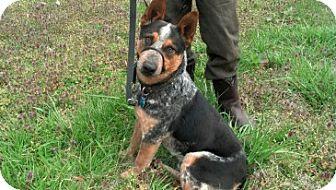 Australian Cattle Dog/Australian Cattle Dog Mix Dog for adoption in Marietta, Georgia - Nero
