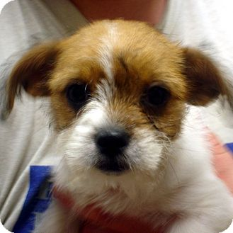 Terrier (Unknown Type, Small)/Terrier (Unknown Type, Small) Mix Puppy for adoption in Greencastle, North Carolina - Cindy