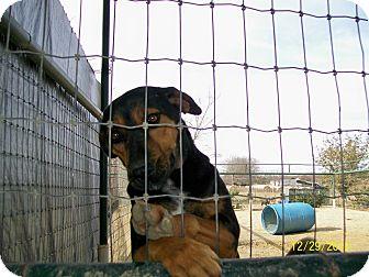 Shepherd (Unknown Type)/Doberman Pinscher Mix Dog for adoption in Mexia, Texas - Cleo