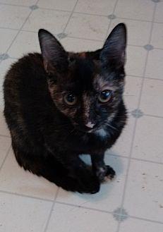 Domestic Shorthair Kitten for adoption in Morganton, North Carolina - Betsy