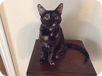 Domestic Shorthair Cat for adoption in Madison, Alabama - SWEETIE PIE: Urgent