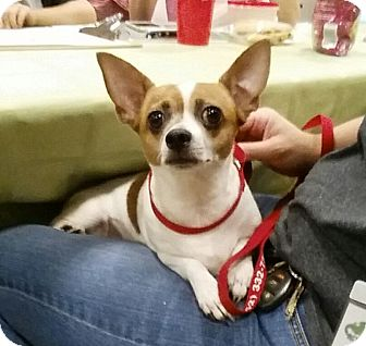 Chihuahua Mix Dog for adoption in Gainesville, Florida - Crystal