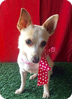 Chihuahua Mix Dog for adoption in Irvine, California - MIMI
