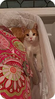 American Shorthair Cat for adoption in Hopkinsville, Kentucky - Maxswell
