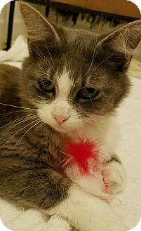 Domestic Mediumhair Cat for adoption in Cincinnati, Ohio - Coco