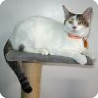 Domestic Shorthair Cat for adoption in Powell, Ohio - Lucinda