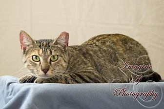 Domestic Shorthair Cat for adoption in Crescent, Oklahoma - Gypsy