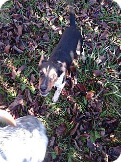 Australian Cattle Dog/German Shepherd Dog Mix Puppy for adoption in Kendall, New York - Jacob