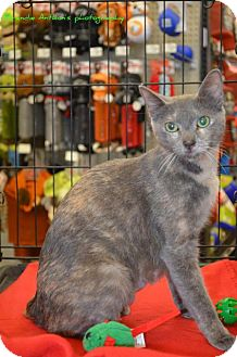 Domestic Shorthair Cat for adoption in ROSENBERG, Texas - Autumn