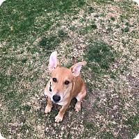 Adopt A Pet :: Smith (fostered in Dallas TX) - Cranston, RI