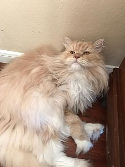 Persian Cat for adoption in The Woodlands, Texas - Toby