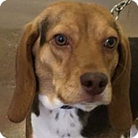 Beagle Mix Dog for adoption in Lexington, Kentucky - Gracie