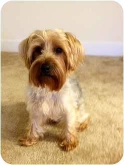 Yorkie, Yorkshire Terrier Mix Dog for adoption in Spring Hill, Florida - Luke