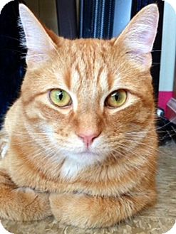 Domestic Shorthair Cat for adoption in Green Bay, Wisconsin - Cheeto