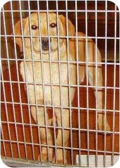 Golden Retriever/Labrador Retriever Mix Puppy for adoption in Provo, Utah - Comet