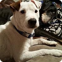 Adopt A Pet :: Sheldon ADOPTION PENDING - Houston, TX