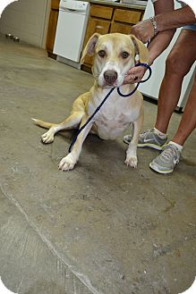 Labrador Retriever Mix Dog for adoption in Osceola, Arkansas - Sunny