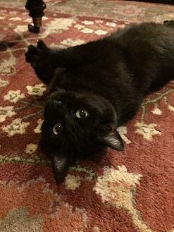 Domestic Shorthair Cat for adoption in Greer, South Carolina - Melody