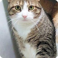 Domestic Shorthair Cat for adoption in Waupaca, Wisconsin - Max