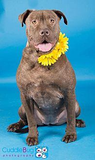 American Bulldog/Shar Pei Mix Dog for adoption in Irving, Texas - Vega